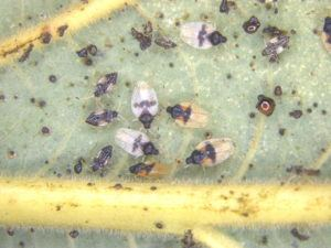 COURTESY HAWAII DEPARTMENT OF AGRICULTURE                                 Adults and nymphs of the avocado lace bug. Agriculture officials said the bug was first detected in December in Pearl City.