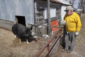 ASSOCIATED PRESS                                 Chris Petersen looks at a Berkshire hog in a pen on his farm near Clear Lake, Iowa.