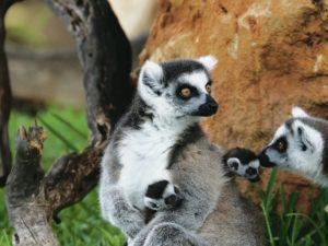 COURTESY HONOLULU ZOO                                 Twin ring-tailed lemurs were born on April 18 to Remi, a 5-year-old female, and Finn, a 4-year-old male, at the Honolulu Zoo. Their 10-month old brother, Clark, was born at the Honolulu Zoo on June 10.