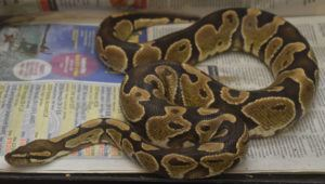 COURTESY HAWAII DEPT. OF AGRICULTURE                                 Ball python found in Kahaluu being held at the Department of Agriculture's Plant Quarantine Station.