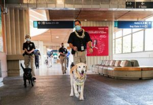 COURTESY TSA                                 King, an explosive detection canine, on the job with his handler, Lance Nobriga. King retired on Monday.