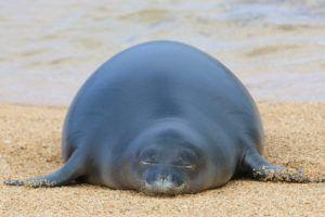 COURTESY NOAA FISHERIES                                 Hawaiian monk seal pup PK1, the first for the main Hawaiian isles this year, was born on Kauai.