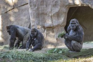 ASSOCIATED PRESS                                 Members of the gorilla troop at the San Diego Zoo Safari Park in Escondido, Calif., are seen in their habitat on Sunday.
