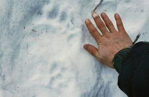 ERIK STEVENS VIA ASSOCIATED PRESS                                 A bear track, seen Feb. 13, in Alaska in the backcountry near where resident Shannon Stevens was bit by a bear in an outhouse. Stevens was using an outhouse in the backcountry and she was attacked by a bear, from below.