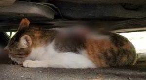 COURTESY HONOLULU CRIMESTOPPERS                                 A cat shot by an arrow hid beneath a parked car.