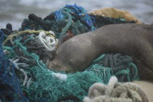 MATTHEW CHAUVIN, PAPAHĀNAUMOKUĀKEA MARINE DEBRIS PROJECT VIA ASSOCIATED PRESS                                 A juvenile Hawaiian monk seal rested on top of a pile of ghost nets, April 5, on the windward shores of Laysan Island in the Northwestern Hawaiian Islands. A crew returned from the remote Northwestern Hawaiian Islands with a boatload of marine plastic and abandoned fishing nets that threaten to entangle endangered Hawaiian monk seals and other marine animals on the tiny, uninhabited beaches stretching for more than 1,300 miles north of Honolulu.