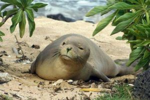 COURTESY HAWAII MARINE ANIMAL RESPONSE                                 Hawaiian monk seal RM90, also known as Mele, resting on the beach. NOAA Fisheries reported that the one-year-old female seal was found dead May 24 on the windward side of Oahu.