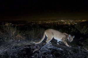 U.S. NATIONAL PARK SERVICE VIA AP / 2016                                 An uncollared adult female mountain lion photographed with a motion sensor camera in the Verdugos Mountains in in Los Angeles County, Calif. Los Angeles city lights are seen in the background. A mountain lion, not pictured, attacked a 5-year-old boy and dragged the child across his front lawn in Southern California was shot and killed by a wildlife officer, authorities said today.