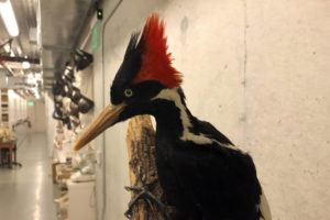 ASSOCIATED PRESS / SEPT. 24                                 An ivory-billed woodpecker specimen is on a display at the California Academy of Sciences in San Francisco.