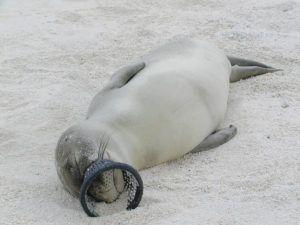 NOAA PERMIT 848-1695                                 A Hawaiian monk seal muzzled by a hagfish trap, above.