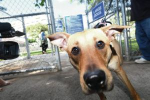 STAR-ADVERTISER                                 Dogs make their way into a dog park.