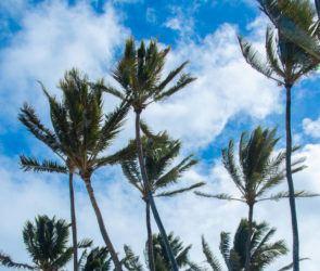 CRAIG T. KOJIMA / CKOJIMA@STARADVERTISER.COM                                 Palm trees were buffeted by winds today.