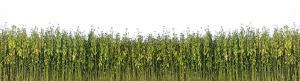 jute plants background