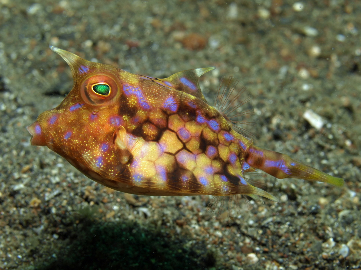https://i0.wp.com/www.starfish.ch/photos/fishes-Fische/boxfishes-Kofferfische/Lactoria-fornasini1.jpg