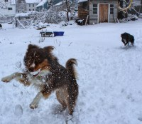 Our Australian Shepherds Surge and Jenny playing in the snow.  Surge has a snowball in his mouth.