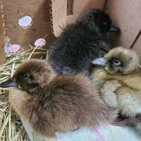 3 ducklings cuddled together on a heating pad in a cardboard box