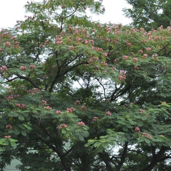 E H Wilson Mimosa Tree from Stark Bro39s Mimosa Trees For