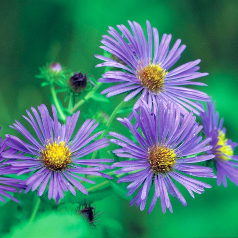 New England Aster Additional Garden Plants Stark Bro S