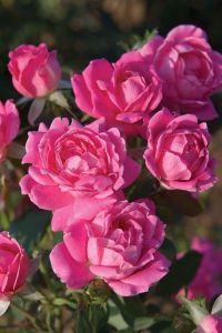 Pink Double Knock Out Rose - Roses - Stark Bros
