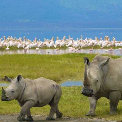 Mother rhino walking with baby rhino and flamingos in background at Lake Nakuru