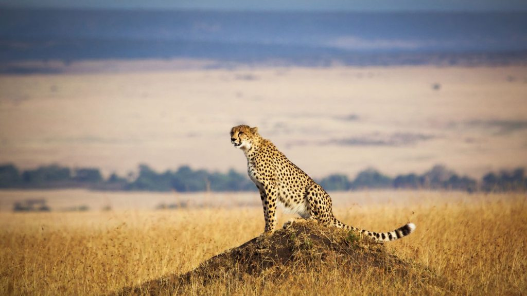 A cheetah in the Masai Mara