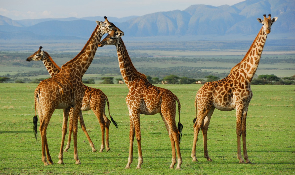 Giraffes at Serengeti National Park