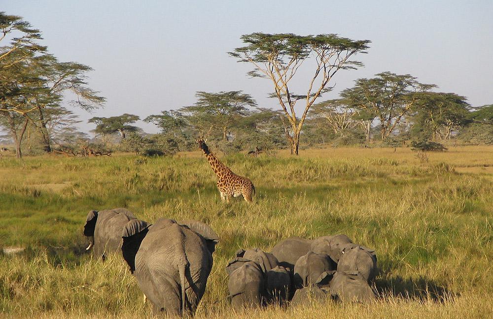 Elephants and a giraffe at Serengeti National Park