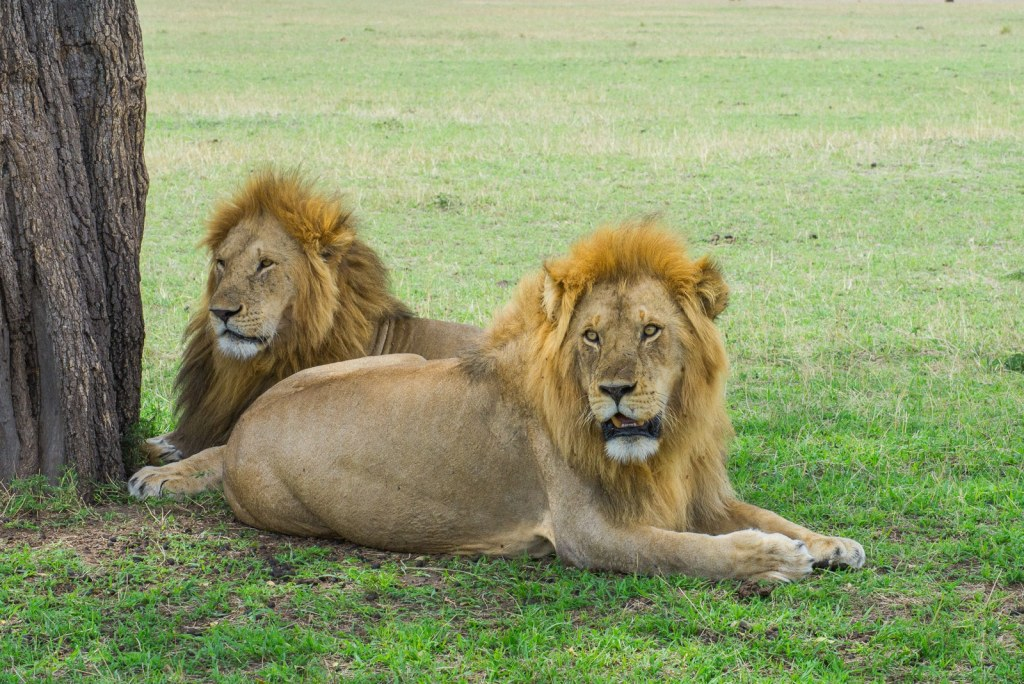 Two lions in the Serengeti