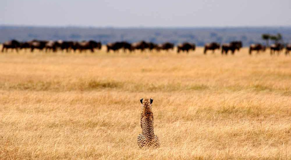 A cheetah stalking prey in Serengeti National Park