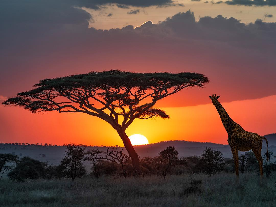 A giraffe in the sunset in Serengeti National Park