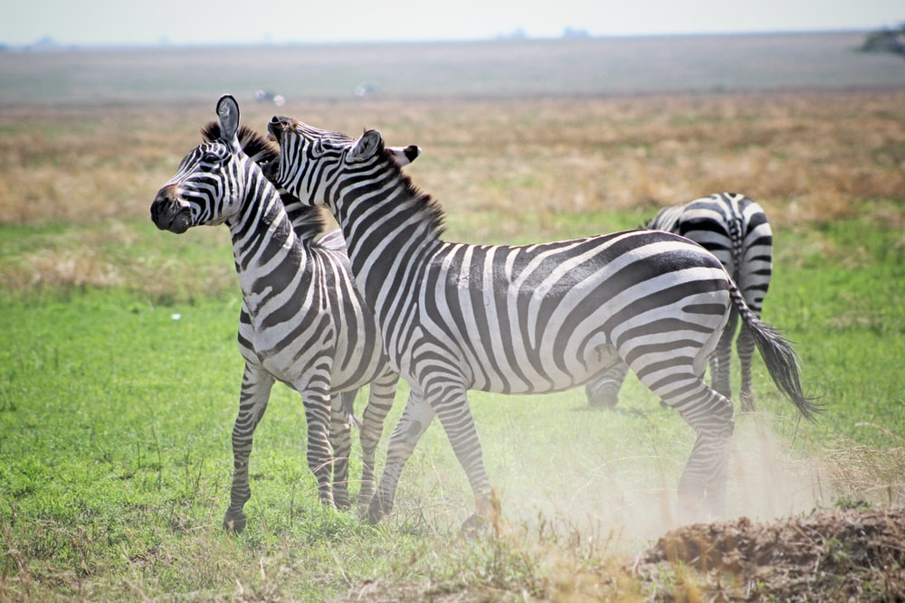 Zebra at the Serengeti