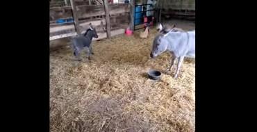 La vidéo cute : Ce jeune ânon est déjà très coquin !