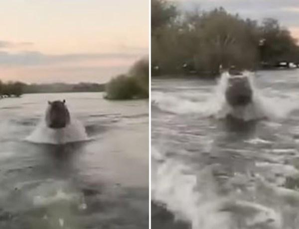 Effrayant ! Un hippopotame charge des touristes au Kenya !
