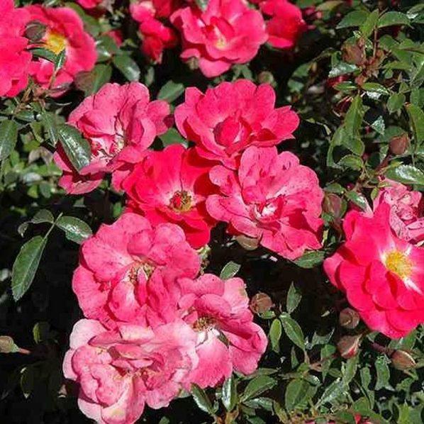 Tag Roses