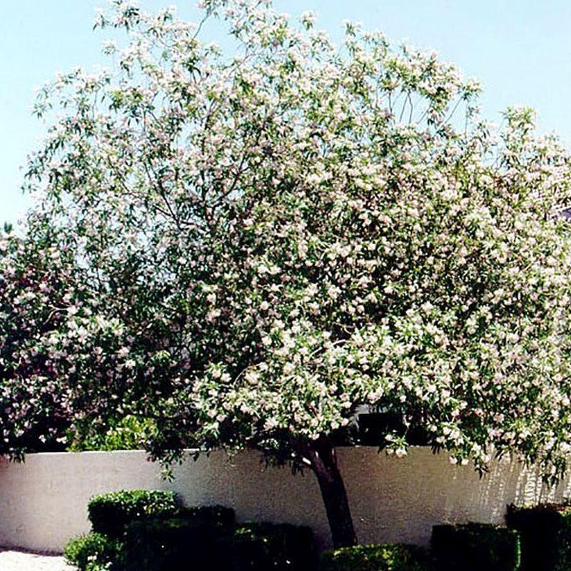 Pink Dawn Chitalpa Tree