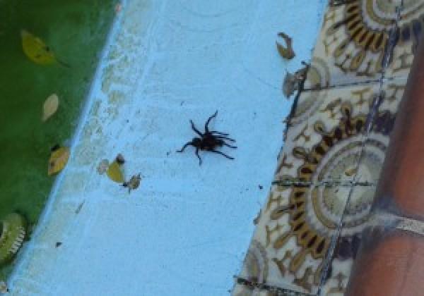 Tarantula in pool_cu