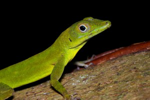 Small Puerto Rican lizard