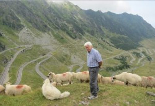 Chuck-sheep-switchbacks-Romania-YM