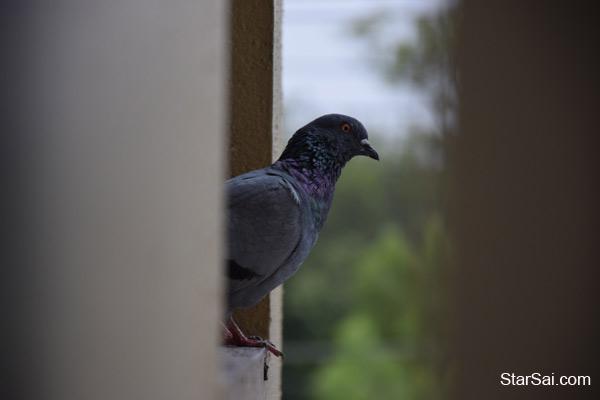 pigeon window