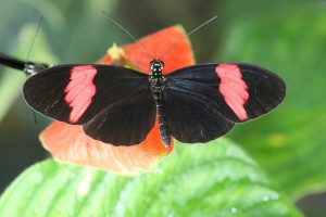 How to be real in a world of fakes butterfly mimicry