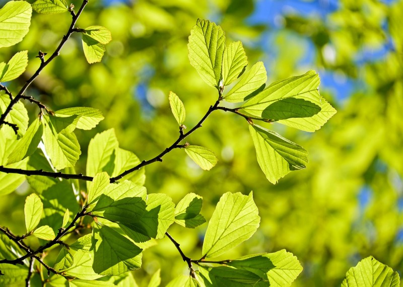 Why are the leaves green?