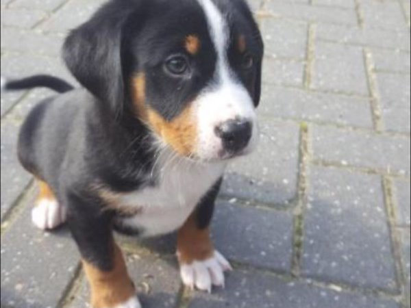 Pup en herplaatsers te koop Appenzeller Sennenhond