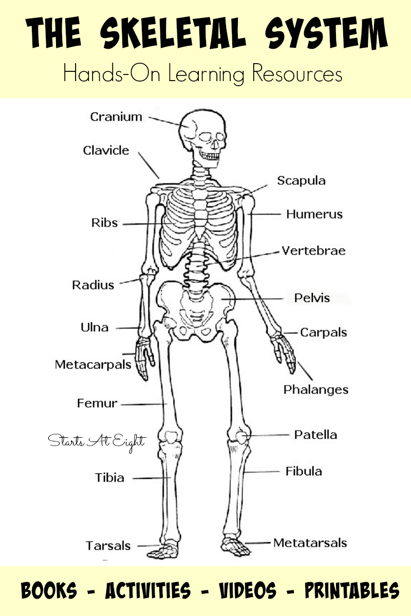 hight resolution of the skeletal system hands on learning resources from starts at eight this is