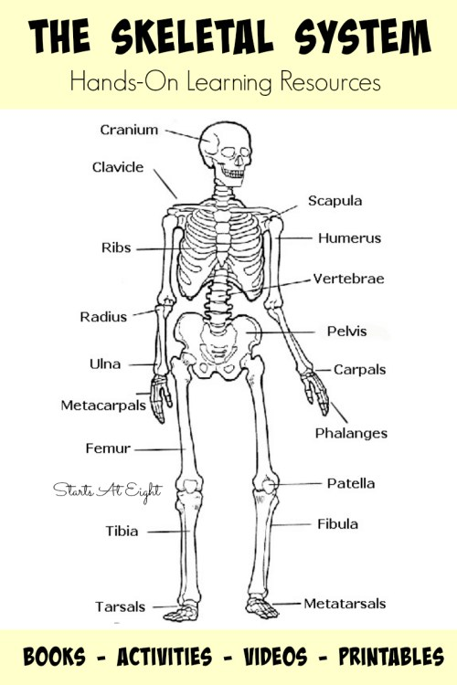 small resolution of the skeletal system hands on learning resources from starts at eight this is