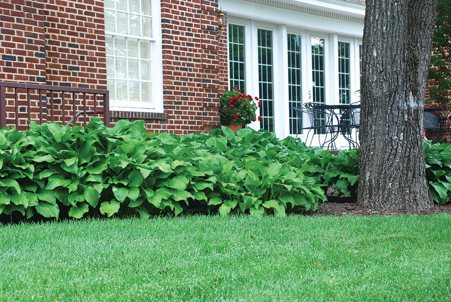 Hostas provide mass and bright flowers to areas under trees.