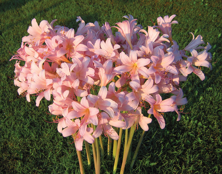 In late summer, the bare stalks shoot upward topped with clusters of pink flowers. Photo by David Longron.