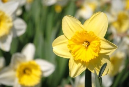 Daffodil Project daffodils in Staten Island