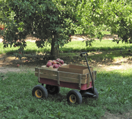 wagon-of-apples267