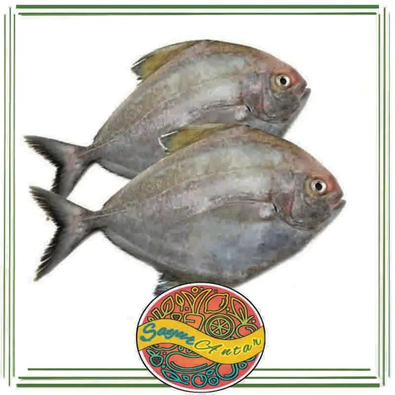 Jual Ikan Bawal Laut Segar 1 Kg Online Januari 2021 Blibli