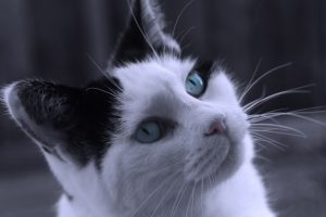 """Cat with Blue Eyes"" courtesy of Anna Langova and http://www.publicdomainpictures.net"